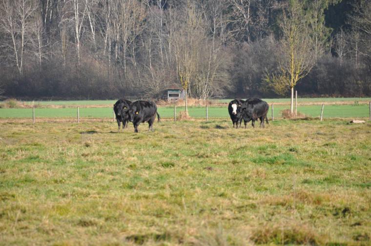Angus Rinder auf der Weide