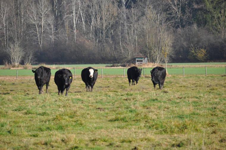 Rinder vom eigenen Hof